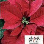 AIL: Dal 05 all'08 Dicembre ritornano le Stelle di Natale per Combattere la Lucemia