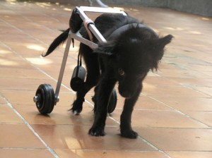 Cane Disabile