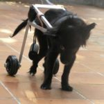 Le meravigliose imprese del cane Lulù nell'aiutare la padrona paraplegica